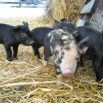Piglets venturing our for the first time